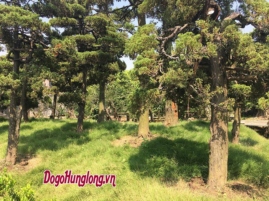 Vườn tùng Hưng Long - Kỳ hoa dị mộc