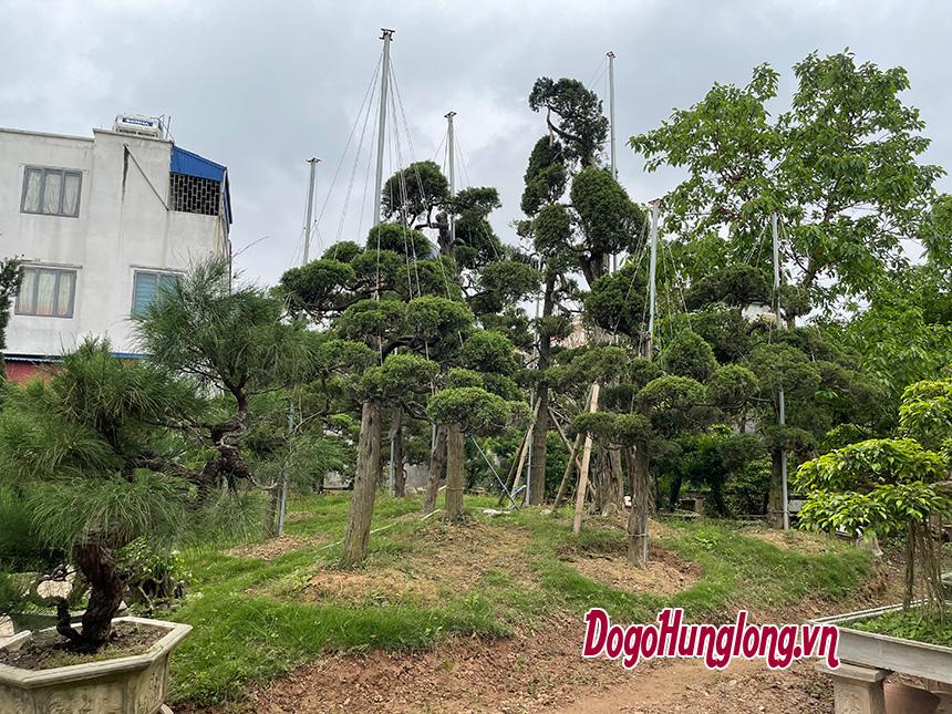 Vườn tùng cối cây lớn, lâu năm của Đồ gỗ Hưng Long